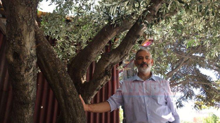 37 yıl önce diktiği zeytin ağacını sürekli ziyaret ediyor
