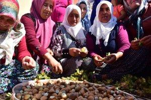 Kahramanmaraş'ta Karadeniz fındığının hasadına başlandı