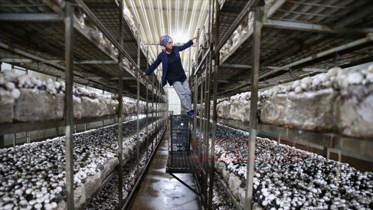 Evlerinin altında üreme başladı, şimdi 46 bin tonluk ihracat yapıyor