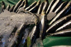 Karadeniz'de hamsi bolluğu balıkçıların yüzünü güldürdü