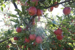 Yahyalı elmasında çiftçileri sevindirdi