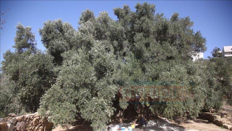 Yahudi yerleşimciler Filistinlilere ait 36 zeytin ağacını kesti