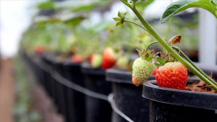 'Kış çileği' üreticileri hasat için gün sayıyor