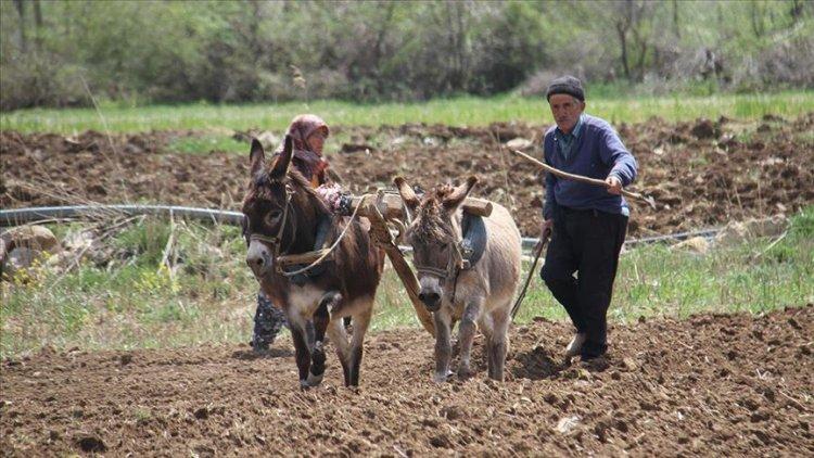 Asırlardır ata tohumlarıyla şeker fasulyesi üretimi yapıyor