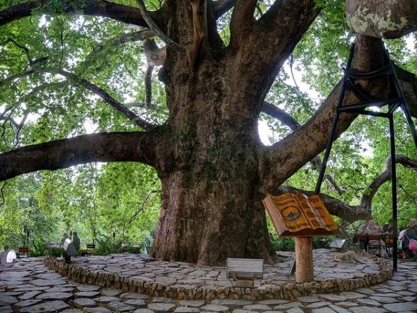 İnkaya Çınarı : gökyüzünü kucaklayan tek başına bir orman