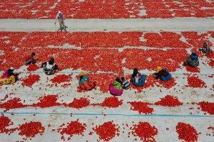 Ege ovalarında yetişen domates 60 ülkeye ihraç ediliyor