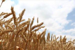 Milli tohum 'Hüseyinbey' ile buğday veriminde rekor artış