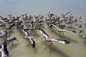Kuş Cenneti'nde flamingo yavruları kanat çırpmaya başladı