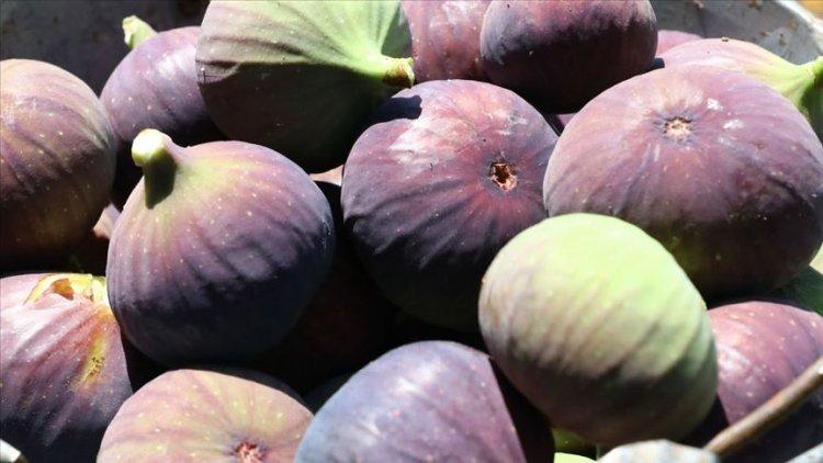 Siyah incir'de hedef 60 milyon dolar