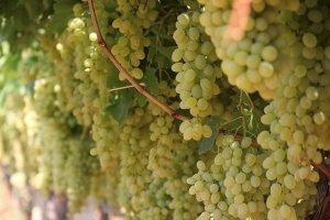 Soframızın tadı üzüm ihracatında hedef 180 milyon dolar