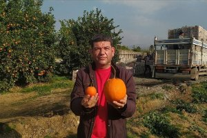 Adana'da portakalı görenler şaşırttı