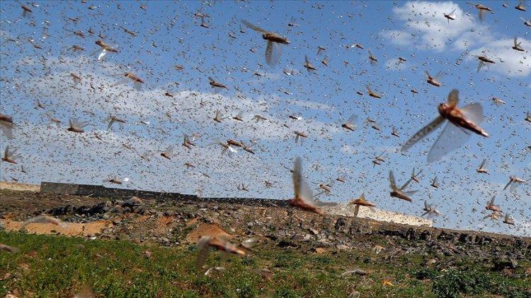 Tanzanya çekirge sürülerinin istilasıyla karşı karşıya