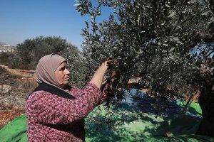 Filistinli çiftçiler Yahudi yerleşimcilerin tehditleri nedeniyle zeytin hasadı yapamıyor